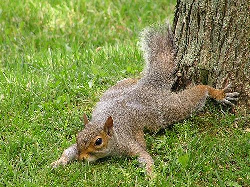 squirrel lays down
