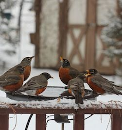 Robins gather at a heated bath on a frigid day