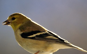 American goldfinch sporting winter plumage