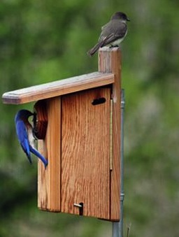 Male Eastern Bluebird scopes out this bluebird house while a Phoebe's perched on top