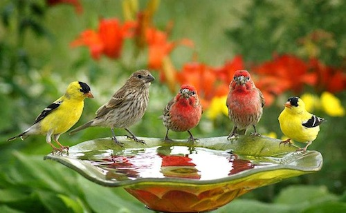 Placing finch feeders near a bird bath will entice even more visitors