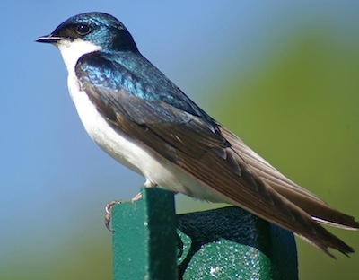 With tree swallow's migration in full swing, they'll be seeking out blue bird houses for nesting