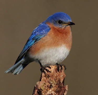Eastern Bluebirds are house hunting