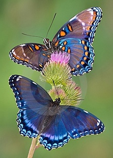 Butterflies draw nectar from feeder wicks or flowers as opposed to drinking from a hummingbird feeder