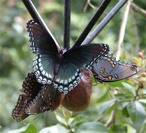butterflies adore over-ripe fruit, offered here on a staked hanging feeder