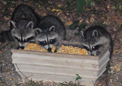 Raccoons love gorging at squirrel feeders