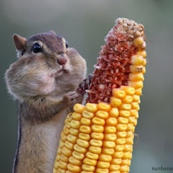 Squirrels cache corn and nuts...even from peanut bird feeders