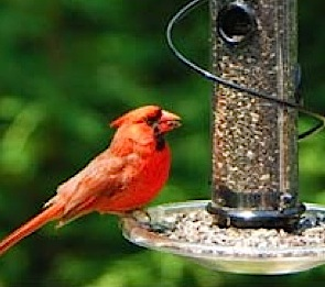 Cardinal on spiral feeder with tray