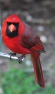 This male cardinal perches at a finch feeder