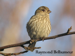 House finch with conjunctivitis-may be spread through bacteria on bird feeders