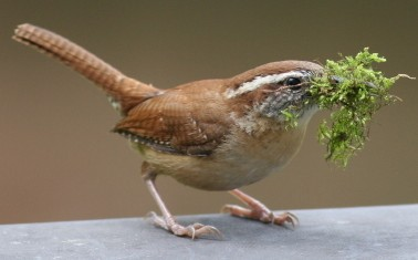 Carolina wren with moss for nest building