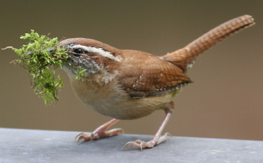Carolina wren sits a top an assembled birdhouse with nest material