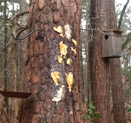 Suet and peanut butter smeared on a tree trunk serves birds well in cold weather