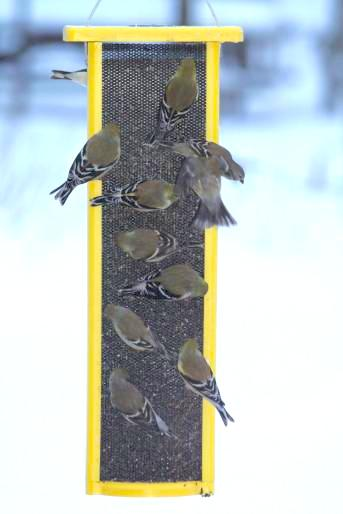 Snowd Days Create A Frenzy At Thistle Feeders