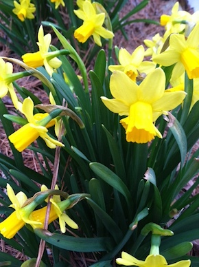 blooming daffodils signal nest starts - offer materials in old tube bird feeders