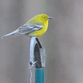 Pine warbler perched above bird feeder on a cold day