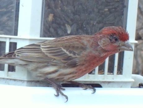 Sick House Finch at Sunflower Feeder