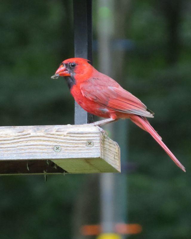 cardinal at platform feeder