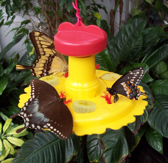 hanging butterfly feeder in use