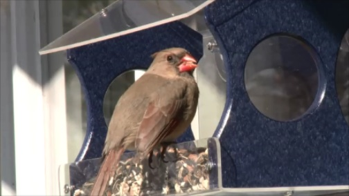 Cardinal enjoying seed mix at recycled window bird feeder