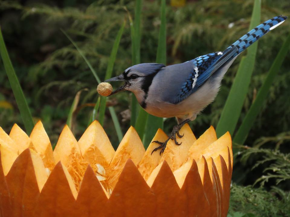 Pumpkin hoper bird feeder with bluejay