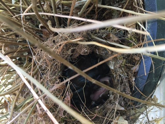 Carolina-wren-hatchlings-in-fern