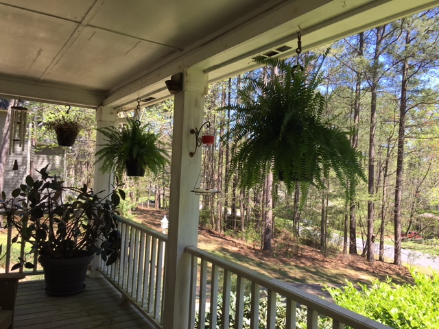 Dead Boston fern with Carolina Wren's Nest