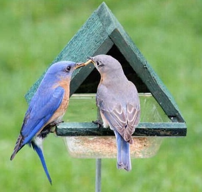 bluebirds at meal worm feeder