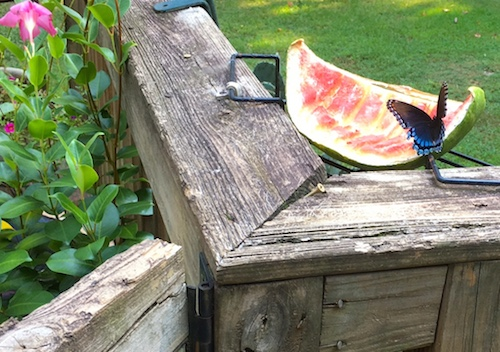 Discarded fruit makes awesome butterfly feeders