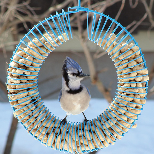 whole peanut bird feeder for year-round use