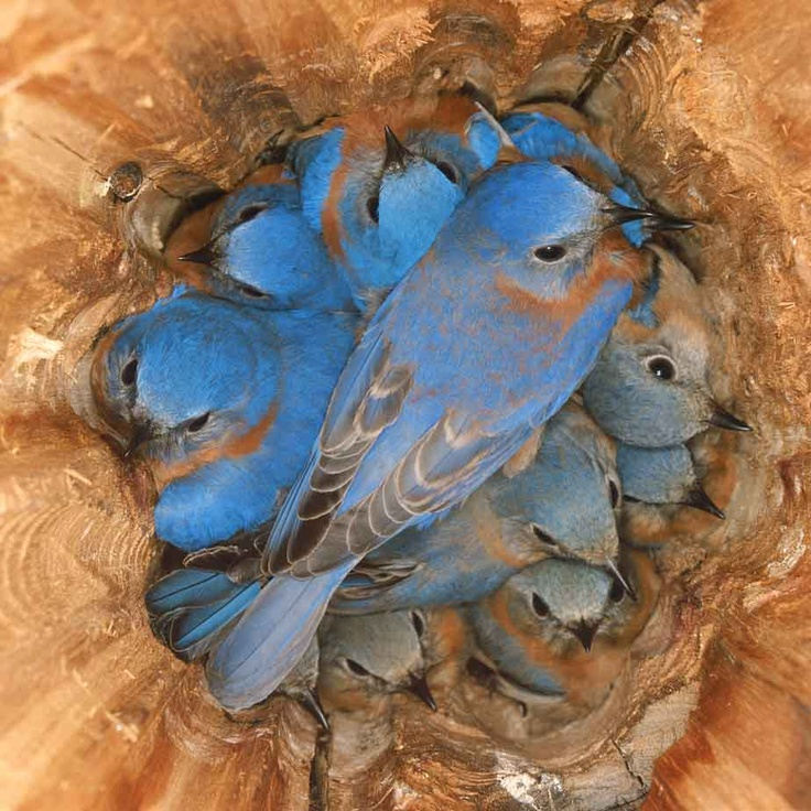 these bluebirds are roosting, not nesting