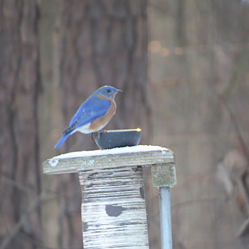 bluebirds will roost together in decorative bird houses