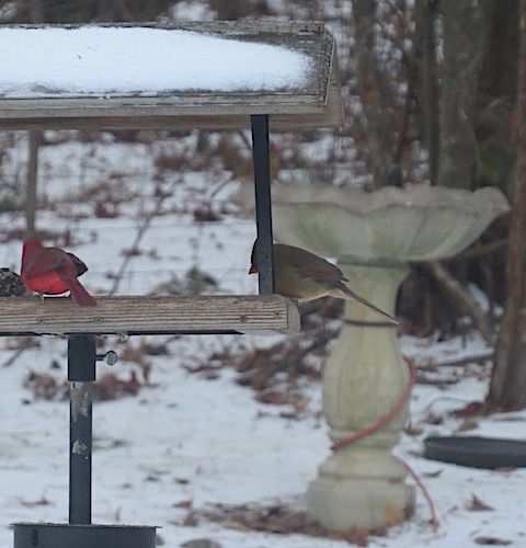 Snow Cardinals don't use decorative bird houses