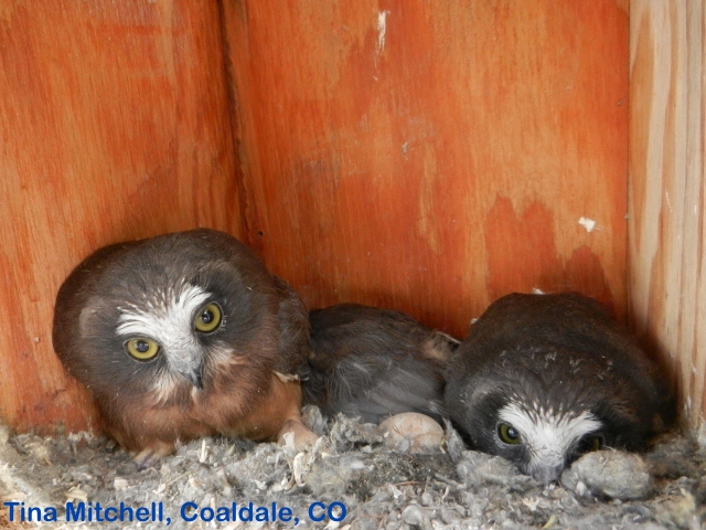 Saw-whet Owlets in their cozy owl house
