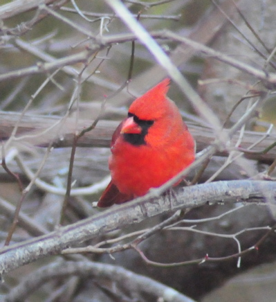 Fat male cardinal in winter conserves energy