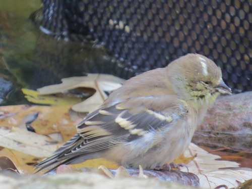 Moldy finch feeders are a likely cause for sick goldfinch