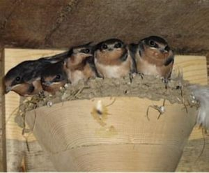 Barn Swallow Nesting in Cups