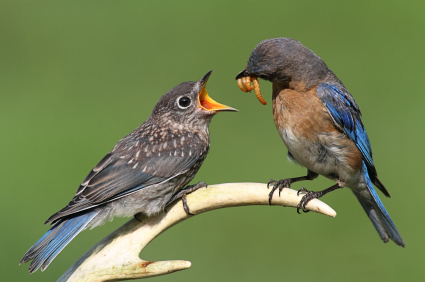 Adult bluebird feeds mealworms to fledgeling