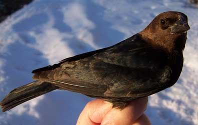 Cowbirds will drop eggs into others' birdhouses