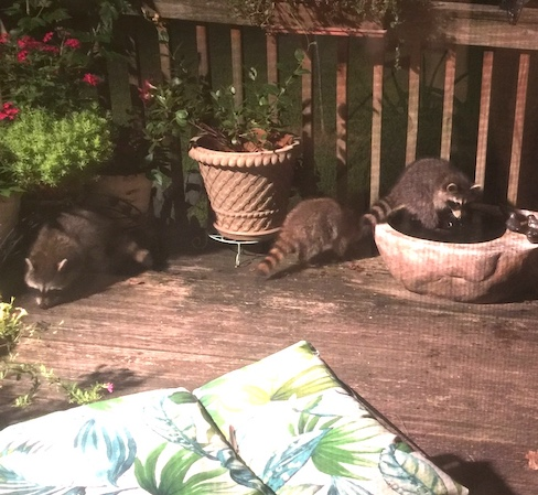 Raccoons Foraging on the deck