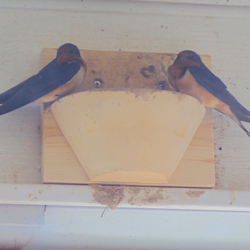 Barn Swallow Nest Cups