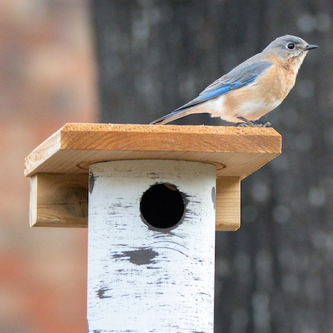 They're already scouting for bluebird houses